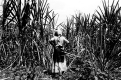 Dans un champ de canne à sucre, une femme travaille pour l'association « Imararungu ». Les récoltes doivent attendre car les prix du marché sont trop bas.